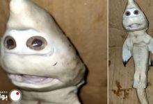 صورة في اغرب واقعة من نوعها.. صياد يعثر على سمكة قرش صغيرة بوجه بشري (صورة)