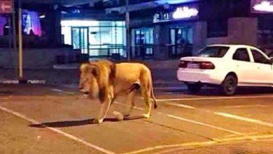 صورة شاهد.. لحظة القبض على أسد مفترس يتجول في هذه المدينة العربية