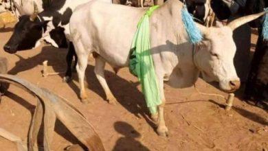 صورة في جنوب السودان..مهر ابنة الرئيس 500 بقرة
