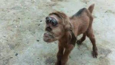 صورة شاهد.. ماعز برأس قرد يثير الرعب في دولة عربية